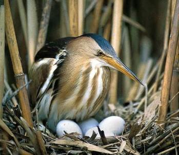 волчок малая выпь в гнезде