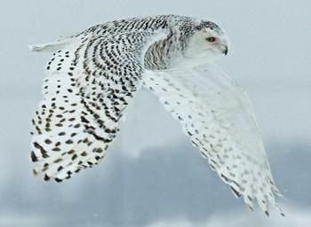 полёт белой совы