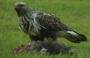 Зимняк – птица охотник
