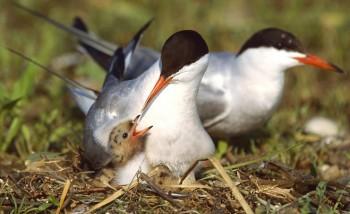 крачки обыкновенные в гнезде