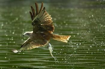 чёрный коршун ловит рыбу