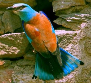 cизоворонка перед своим гнездом