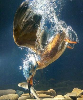 Зимородок обитает по берегам рек озер