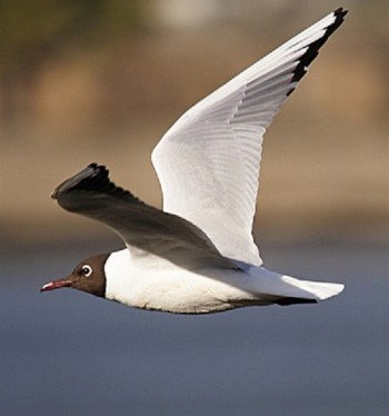 Обыкновенная чайка