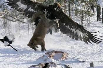 беркут охотится