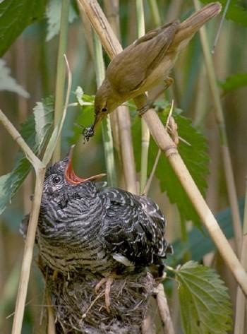 Тростниковая камышовка кормит кукушонка в своём гнезде
