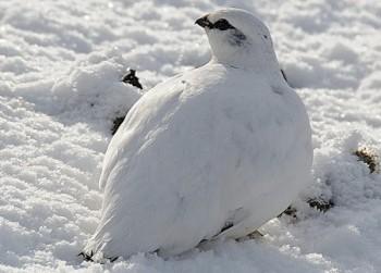 куропатки птицы фото