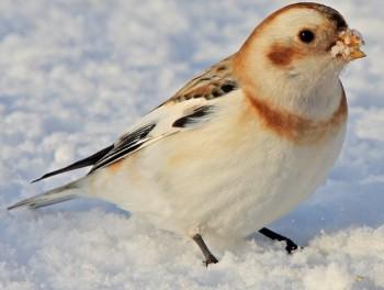 Пуночка, или снежный подорожник