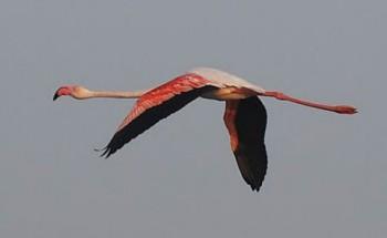 Обыкновенный, или розовый, фламинго
