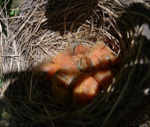 птенцы дрозда рябинника