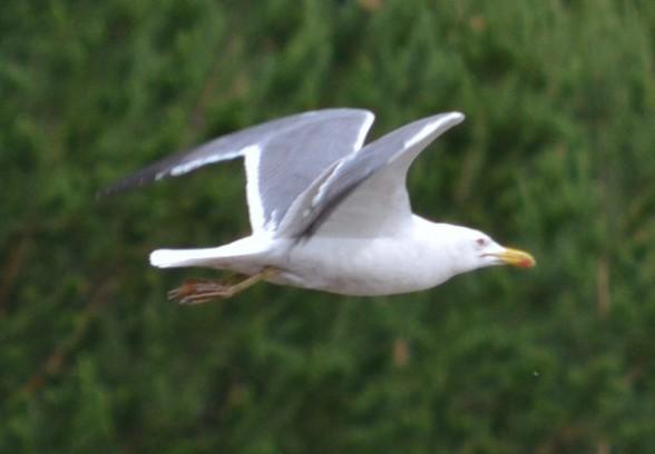 Чайка Larus barabensis