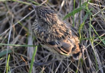 слёток сибирского чекана - Saxicola maura