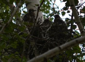 гнездо чеглока с птенцами