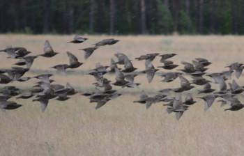 к чему снятся птицы?