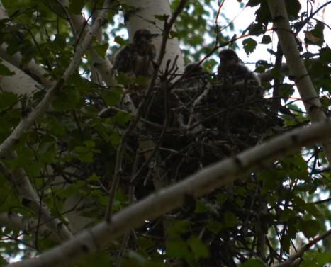 чеглок гнездо птенцы