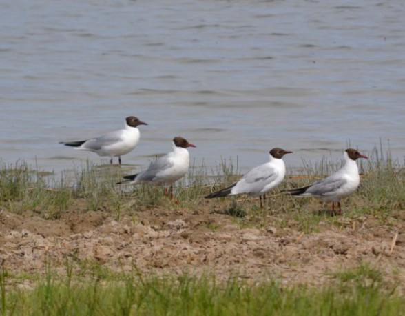 Обыкновенные чайки Larus ridibundus