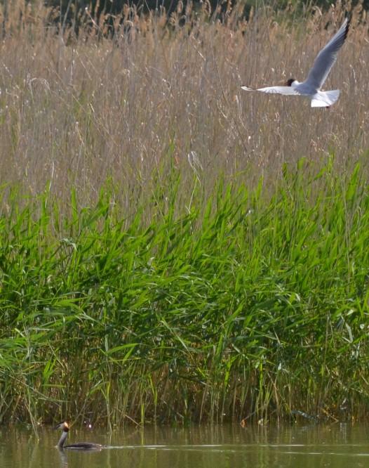 Обыкновенная чайка и чомга
