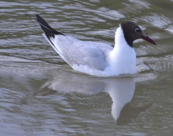 Обыкновенная чайка Larus ridibundus
