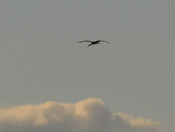 Чёрный аист Ciconia nigra