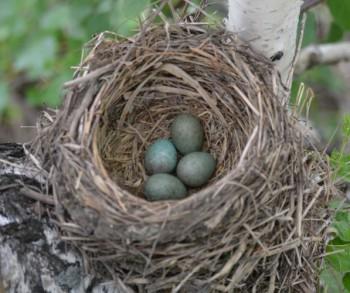 яйца дрозда рябинника