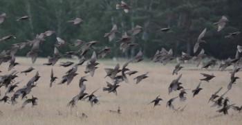Стайные птицы скворцы
