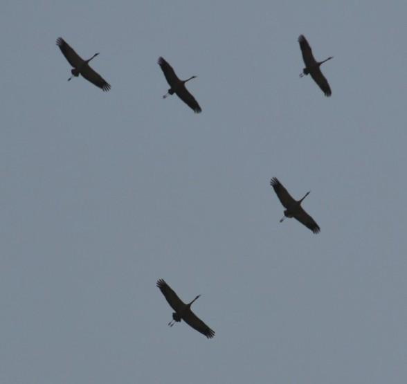 Как улетают птицы. Формы стаи и миграций