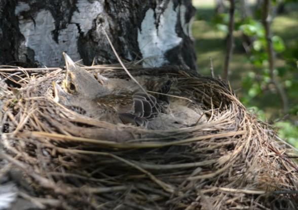 птенцы рябинника в гнезде