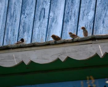 Гнёзда птиц в постройках человека