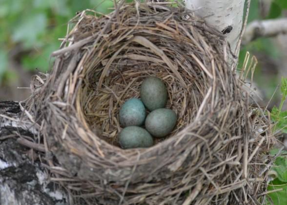 Продолжение рода у птиц