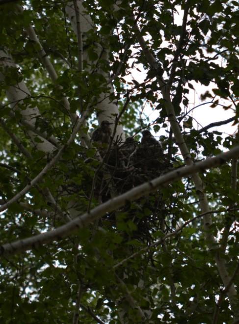 гнездо чеглока
