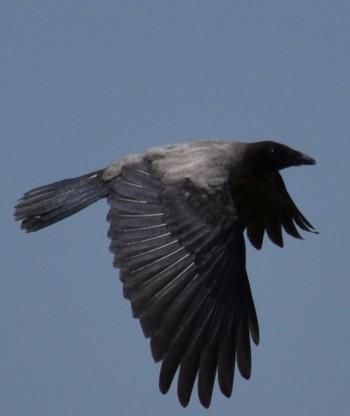 Весеннее оживление ворон