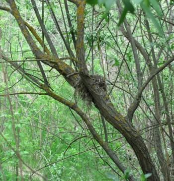 гнездо дрозда рябинника