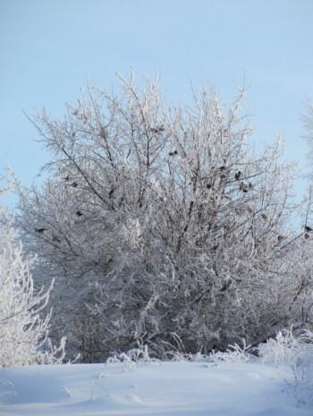 дрозды рябинники зимой
