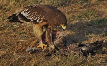 Большой подорлик, или орёл-крикун