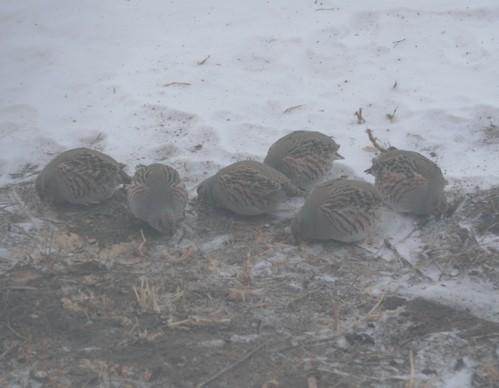 серые куропатки