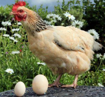Что появилось раньше - курица или яйцо?